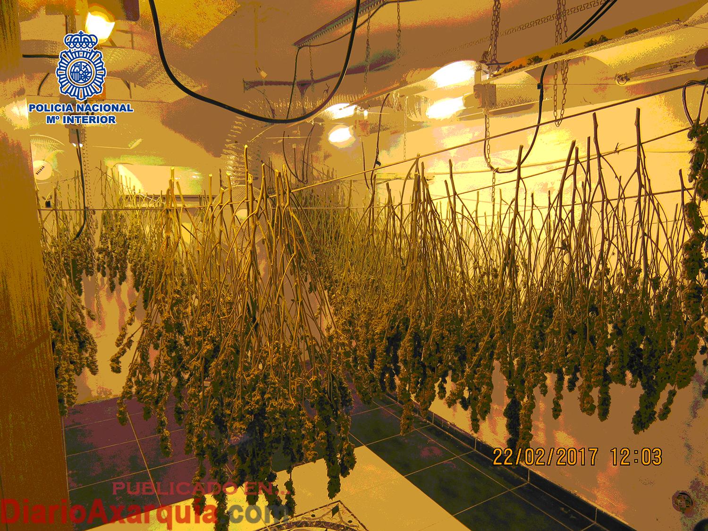 La polic a nacional desmantela seis plantaciones de marihuana y se incauta de 700 plantas de - Plantaciones de marihuana interior ...